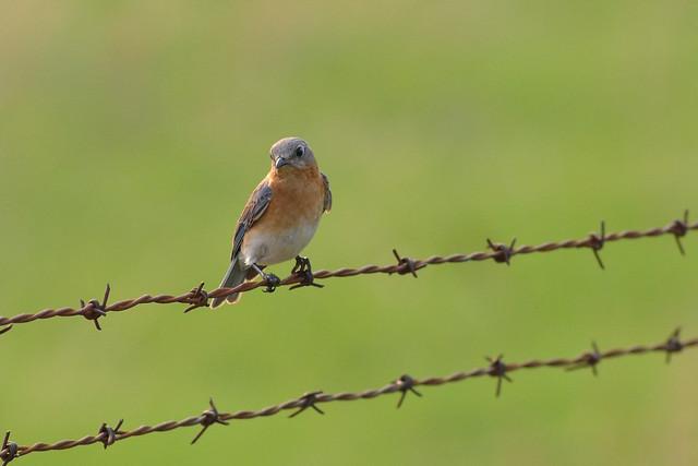 Eastern Bluebird F DSC_5134