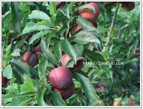 【限量】開始在叢紅的 清甜桃子 & 【預告】 紅肉李準備中