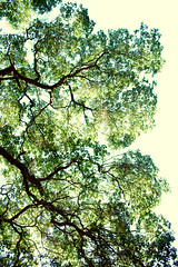 Lysergic Bliss (Amanda) Tags: sunlight color tree green nature leaves silhouette clouds forest losangeles nikon shadows branches grow fluffy broccoli boring overexposed tall veins d60 simplistic