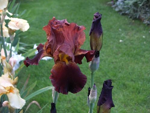 Iris da guess1958.