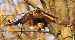 Flying Through The Woods With An Unwilling Passenger (ozoni11) Tags: life bird nature birds death interestingness nikon squirrel squirrels hawk hunting explore raptor hunter prey predator raptors hawks redtailedhawk hunted columbiamaryland d300 lifeanddeath 379 wildelake redtailedhawks interestingness379 i500 michaeloberman explore379 ozoni11