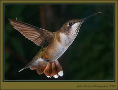 HummingBird_Closeup_w (kirwinj) Tags: macro birds hummingbird specanimal thewonderfulworldofbirds micarttttworldphotographyawards micartttt perfectactionshot