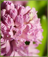 pink colour on sunday....... (atsjebosma) Tags: pink winter flower macro nature colorful dof nederland thenetherlands explore hyacinth kleurrijk bej anawesomeshot theunforgettablepictures natureselegantshots february2009 atsjebosma pinkonsunday rosekleur opvrolijken