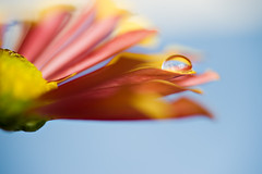 sun, sky and sea (CortneyR-) Tags: blue red orange flower macro water yellow drops droplet sigma105mm abigfave