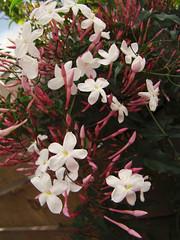 jasmine polyanthum winter jasmine pink jasmine
