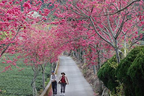 漫步於草坪頭櫻花隧道