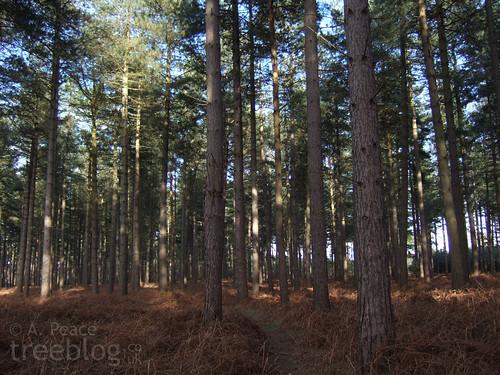 mature Scots pine