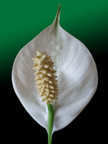 Mums spathyphylum - Peace lily by frans schmit