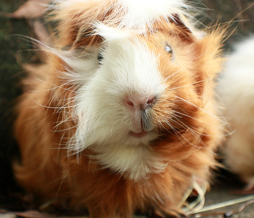 Alvin the guinea pig by fizzyjess
