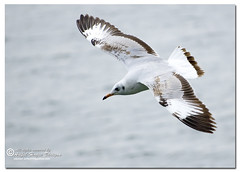 Brown-headed Gull (Immature) {Larus ridibundus} (- Ariful H Bhuiyan -) Tags: gull gang safari immature larus chil ridibundus teknaf brownheadedgull ttlsafari gangchil ttlsafari4