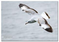 Brown-headed Gull (Immature) {Larus ridibundus} (- Ariful H Bhuiyan -) Tags: gull gang safari immature larus chil ridibundus teknaf brownheadedgull ttlsafari gangchil ttlsafari4
