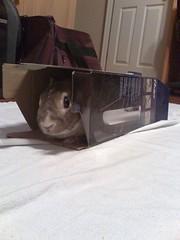 Little Guy (Phill&LG) Tags: cute rabbit bunny furry hare sweet box lol rabbits