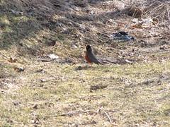 A Robin, is it  Spring? (Garrows5) Tags: like it rodin mmmi