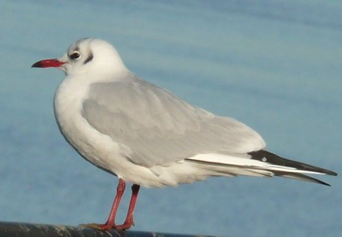 Black Headed Gull At Chatham Riverside ,Kent