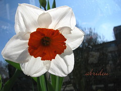 Narcissus (abrideu away on Holiday) Tags: canon searchthebest narcissus abrideu weirenasfaves mmmilikeit