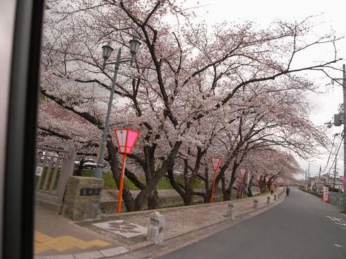 09-04-01【桜】@大和高田-01
