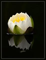 A Floating Lantern (TT_MAC) Tags: flower reflection nature pond waterlily blossom fa victoriabc naturesfinest mywinners platinumphoto anawesomeshot cfaa redmatrix adriënnesmagicalmoments