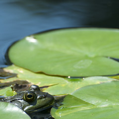 Lillypad and peeping frog (Peter Rivera) Tags: newyork green eye nature water composition garden pond nikon natural sunny amphibian frog lillypad purchase depth pepsico oval rivera d300