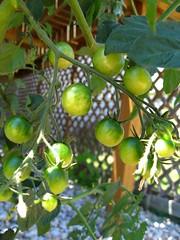 Topsy Turvy tomatoes