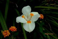 Lirio/Lily (Altagracia Aristy) Tags: amrica lily dominicanrepublic lirio tropic caribbean antilles caribe bayahibe repblicadominicana trpico antillas quisqueya fujif40 fujifilmfinepixf40fd fujifinepixf40fd altagraciaaristy carabi