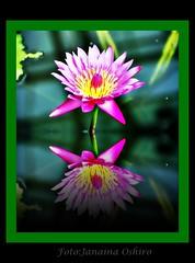 "Homage the ""LIFE""... (♫ Photography Janaina Oshiro ♫) Tags: flower macro japan digital flor rosa reflexo nikond80 lottus"