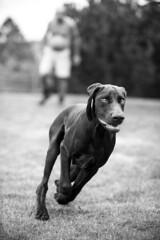 One Happy Dog (alexoen) Tags: bw dog white playing black norway happy hund sh brun svart leker vorsteh hvitt oen ygarden