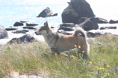Værøytreffet 2009 - dag 5 - Måstad (Lundtola) Tags: dogs lundehund hunder måstad værøy puffindog varoy mostad værøy2009 varoy2009