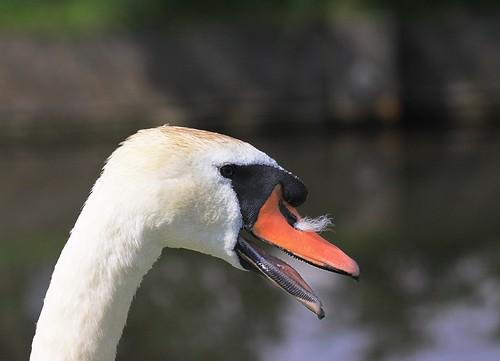 09-08-08 Mute Swan Cobb