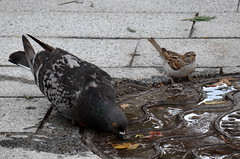 ... (Tanya.K.) Tags: city pets bird birds pigeon pigeons cities   naturesfinest   bej fantasticwildlife sonyh50