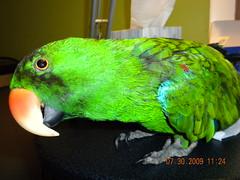 bird brain willie eclectus 2009august