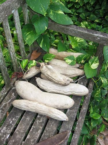 sausage tree fruits