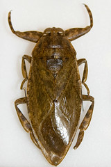 CD427 Giant Water Bug (listentoreason) Tags: usa nature animal closeup america canon insect newjersey unitedstates favorites places animalia arthropoda invertebrate arthropod tomsriver insecta hemiptera pterygota neoptera belostomatidae ef28135mmf3556isusm score30 toebiter giantwaterbug bugmuseum exopterygota electriclightbug nepomorpha insectropolis bugseum alligatortick hemipterodea
