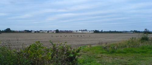 Geese in Field