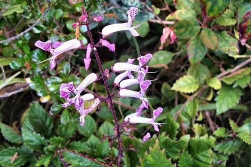 Plectranthus 'Mona Lavender' (rq) - 01