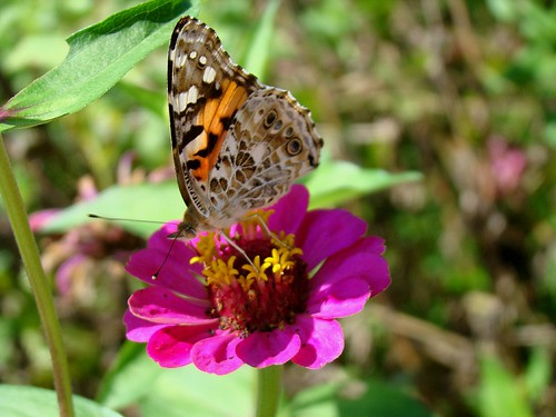 Painted Lady 9-24-09