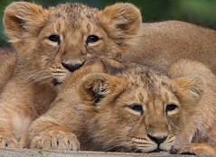Lion Cubs (Kenny Scott 1) Tags: park trees portrait abstract london westminster station animal photography zoo interestingness different hill royal hyde photograph fujifilm british giraffe scotty primrose s5pro