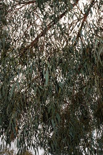 Eucalyptus nicholii, Narrow-Leaved Black Peppermint