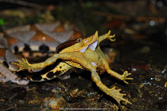百步蛇 吃 盤古蟾蜍 - Deinagkistrodon acutus , hunting