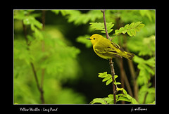 Yellow Warbler - Long Pond (Tomcod) Tags: green bird nature yellow wings wildlife feathers birdsong perch avian warbler songbird