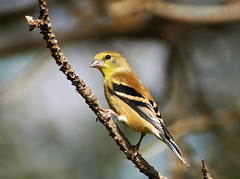 American Goldfinch (*Cristiana*) Tags: birds soe americangoldfinch cubism naturesfinest defendersofwildlife addictedtoflickr beautifulbirds mywinners platinumphoto anawesomeshot impressedbeauty avianexcellence theunforgettablepictures goldstaraward winnr vosplusbellesphotos thewonderfulworldofbirds
