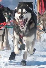 _2823064 (HBRstudios) Tags: dog race sled 2009 beargrease