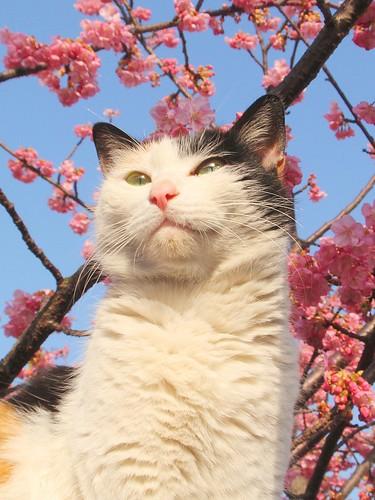 Sakura cat