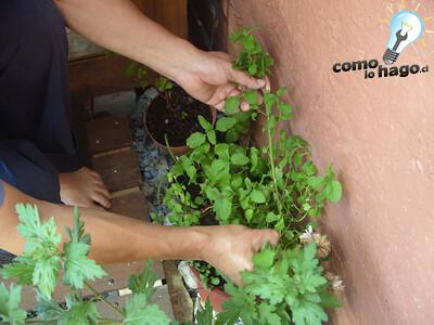 Recolectando hierba - Cómo hacer mojitos