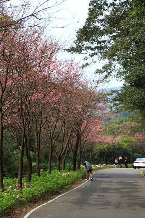 三芝櫻花54