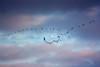 Cranes in the evening sky (Sam ♑) Tags: crane eifel 1001nights bitburg kranich blueribbonwinner supershot żuraw photographyrocks mywinners abigfave anawesomeshot flickrdiamond citrit canoneos450d concordians platinumheartaward flickrestrellas sam8883