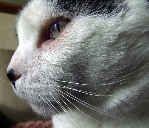 boss macro cat feline fuji profile handsome charles super whiskers thinking his sir philosophical 1cm lordship s100fs