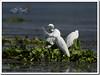 Little Egret (Egretta grazetta), Family (Z.Faisal) Tags: bird nature nikon little beak feathers aves bok nikkor egret bangladesh avian bipedal bangla faisal feni bak sada boga desh d300 zamir littleegret egrettagarzetta egretta shee choto garzetta korche chhota pakhi endothermic nikkor300mmf4 muhuri dhub zamiruddin zamiruddinfaisal sadabok dhubboga bokhla beoi beoishee chotoboga chhotakorchebak chotobok zfaisal muhuriproject muhuridam