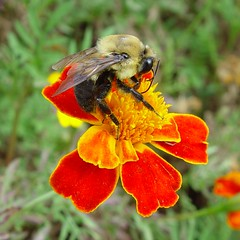 Bumblebee on Marigold (Pat's Pics36) Tags: orange flower bumblebee sonydscf707 potofgold orangeandyellow macrolife natureselegantshots naturethroughthelens 100commentgroup mygearandme mygearandmepremium mygearandmebronze mygearandmesilver mygearandmegold mygearandmeplatinum