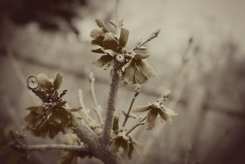 vintage blooming forsythia