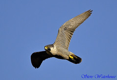 Peregrine falcon in passage (spw6156) Tags: copyright lens hand steve iso 400 falcon mm held nationaltrust raptors waterhouse peregrine plymbridge cannquarry spw6156 passage500 stevewaterhouse plymperegrineproject plymbridgeperegrinefalcons copyrightstevewaterhouse